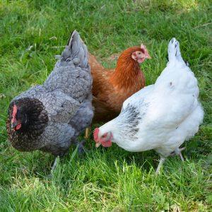 Comment élever des poules dans son jardin ?